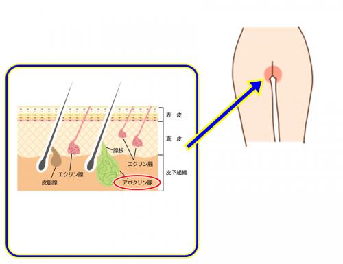 性器そのものよりも性器周辺の陰毛がニオイを生み出している