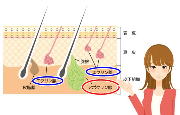 汗の出口にはアポクリン腺とエクリン線がある。