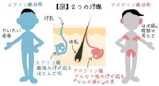 アポクリン腺の体内分布図