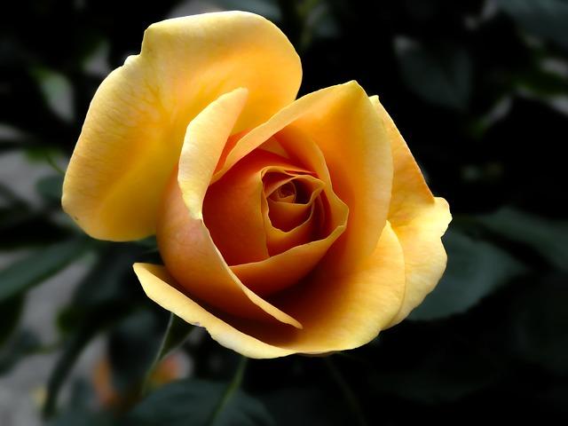 rose-0122.jpg